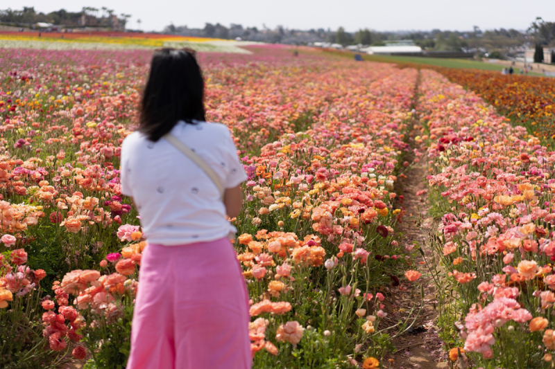 The Flower Fields / Carlsbad, CA